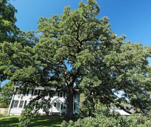 This Bur Oak Tree won the Hoy Audubon Trees We Love 2016 program. (PHOTO by John Krerowicz)
