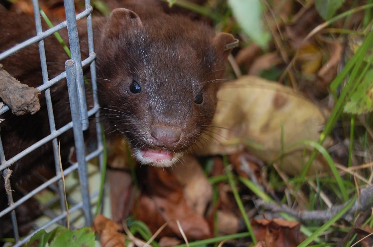 Wisconsin mink farming