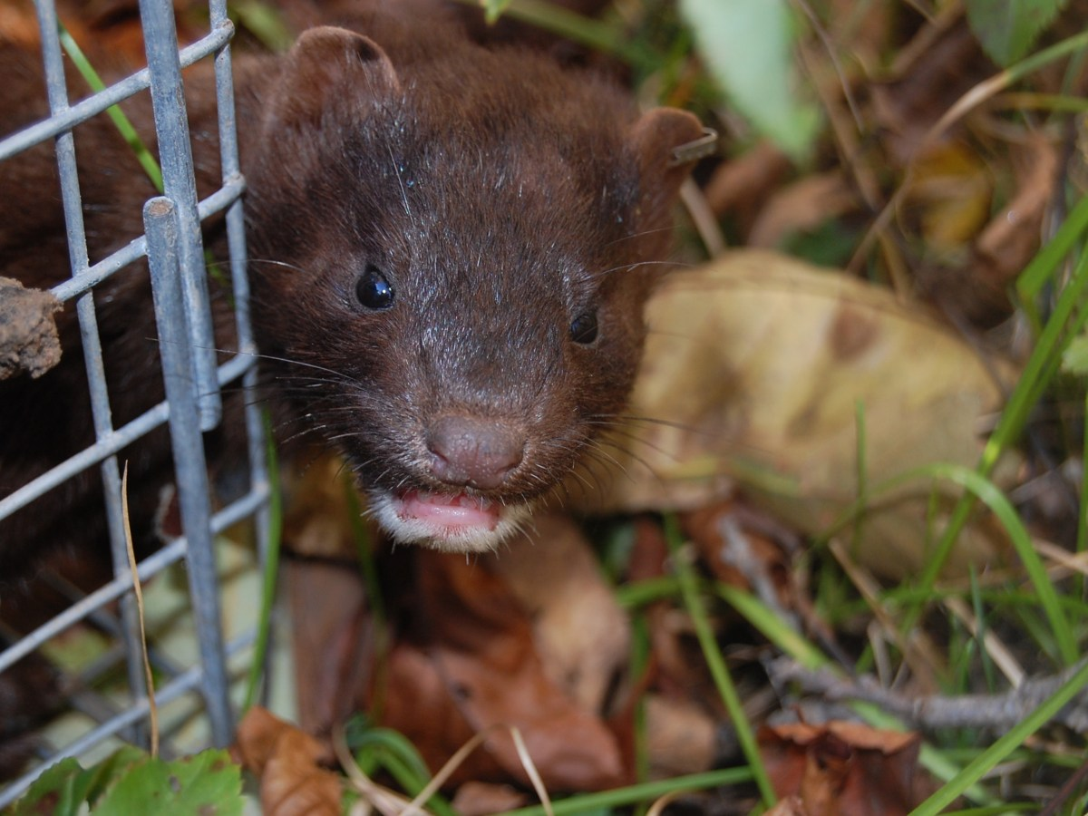 Wisconsin mink farming