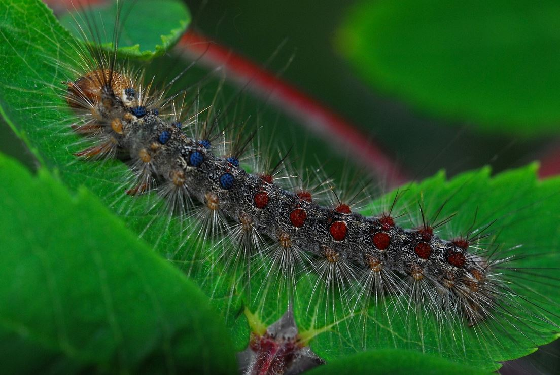 gypsy moth, wisconsin