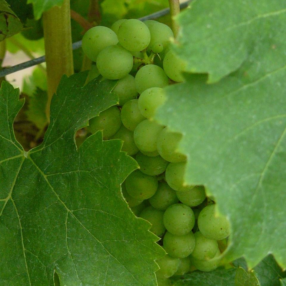 racines voyage raisin vignoble