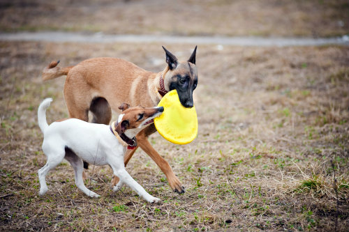Brown dog and white dog with yellow frisbee.