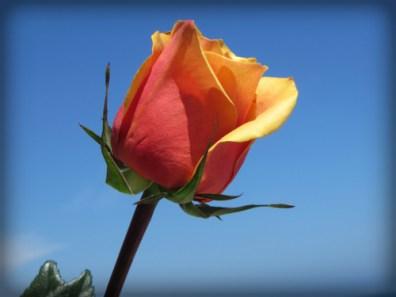 Rose Bud.