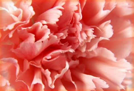 Peach Carnation.