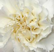 White Carnation.