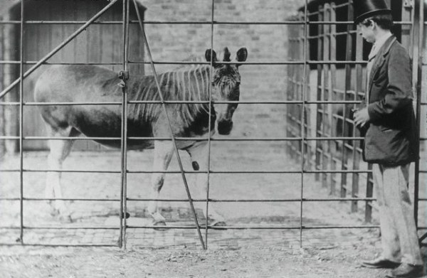 Quagga Mare At London Zoo, 1864. Photo: Frank Haes.