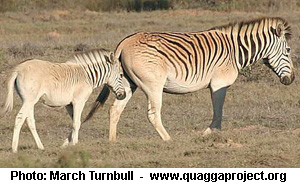 The Quagga Project's Foal, Henry. Photo By March Turnbull.