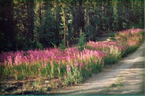 Fireweed In The Yukon. Photo: Luigizanasi.