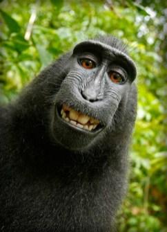 Macaca Nigra Self-portrait. Image: Wikipedia.