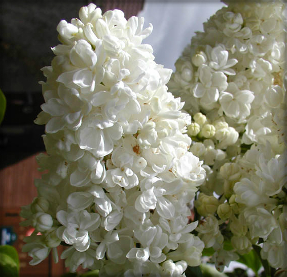 Victorian Flowers, Double Lilacs. Image: Arpingstone.