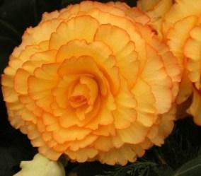 Victorian Flowers. Begonia-tuberhybrida. Image: GardensOnline.com.