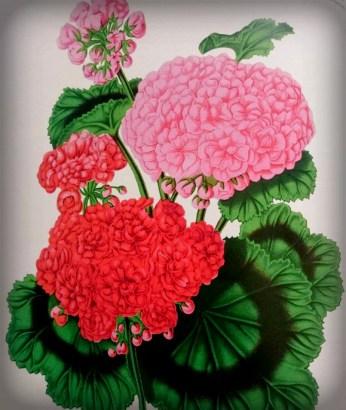 Victorian Flowers: Double Geraniums.