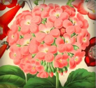 Victorian Flowers: Double Geranium.