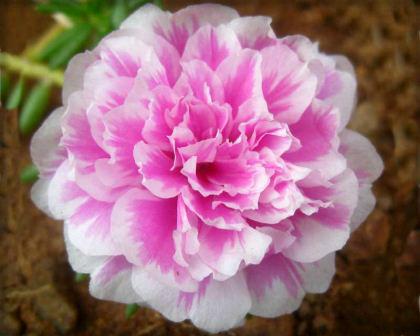 Portulaca-Grandiflora-Double. Image: GardensOnline.com.