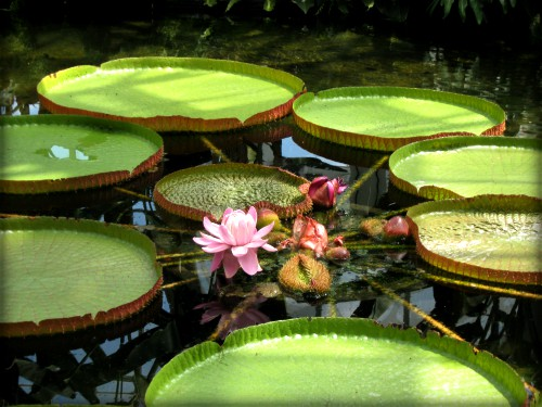 Giant Water Lily Amazonica. Image: Cbaile19; Wikipedia.