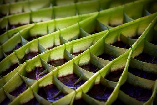 Giant Victoria Water Lily. Image: Laitr Keiows, Wikipedia.
