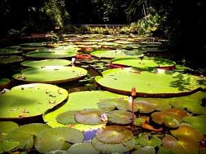Giant Water Lily Amazonica. Image: Emerson Santana Pardo; Wikipedia.