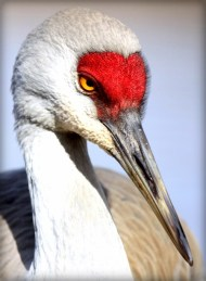 upper body sandhill crane with red face long beek