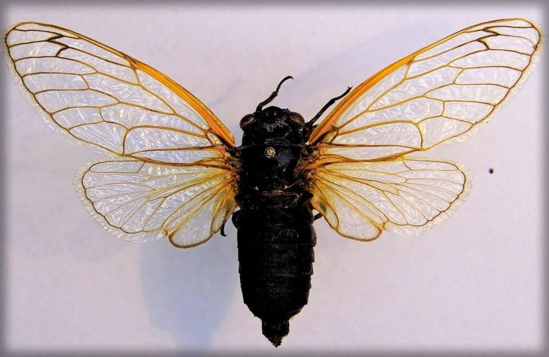 Cicada Mysteries Magicicada septendecim. Image: Tanja Popp; WIkipedia.