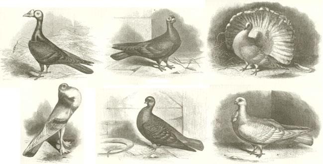 Bilderesultat for darwins pigeons
