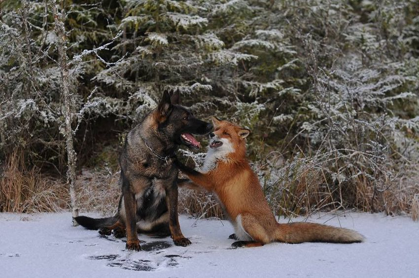 Fox-and-hound-05