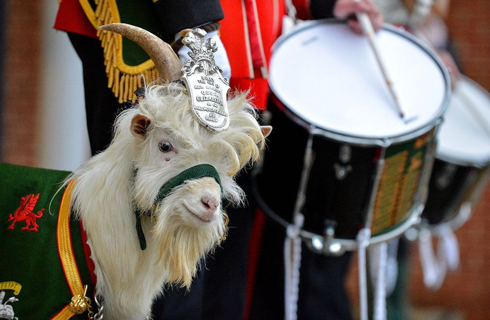 Regimental goat Royal Welsh