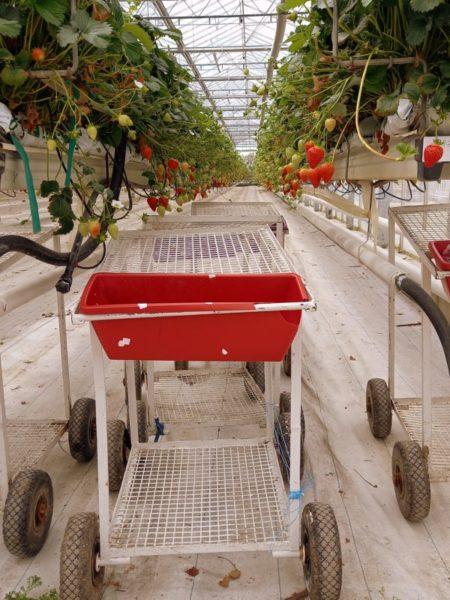récolte de fraises Wexford Irlande