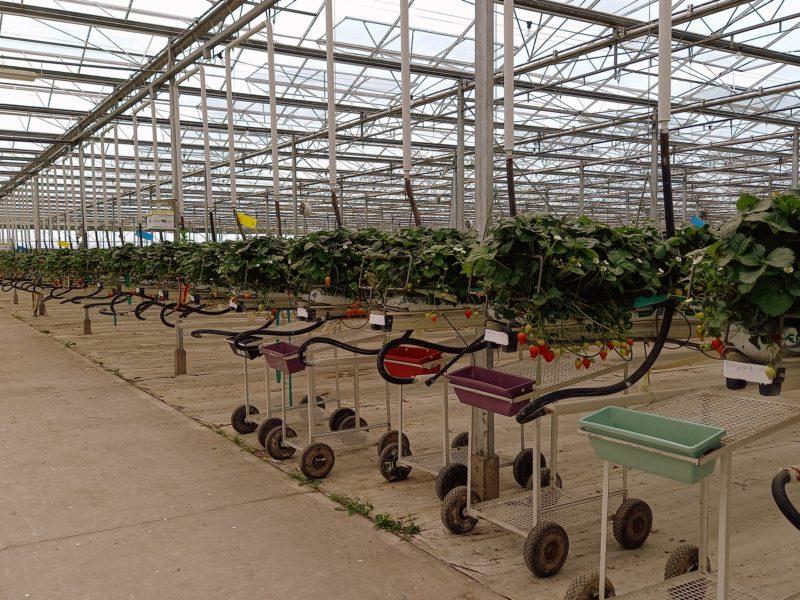 Production de fraises en Irlande