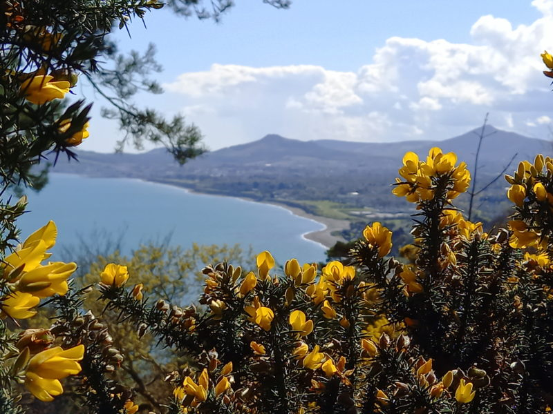 Ajoncs en fleurs irlande