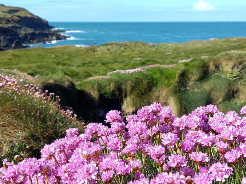 Fleur d'arménie maritime commune sur les côtes d'Irlande