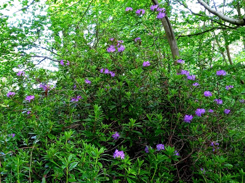 rhododendrons sauvages en Irlande