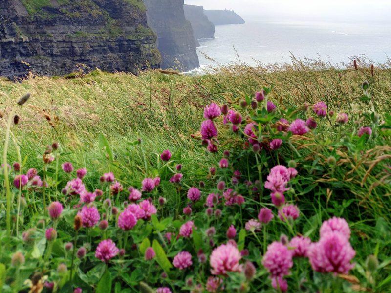 Fleurs de trèfle falaises de Moher