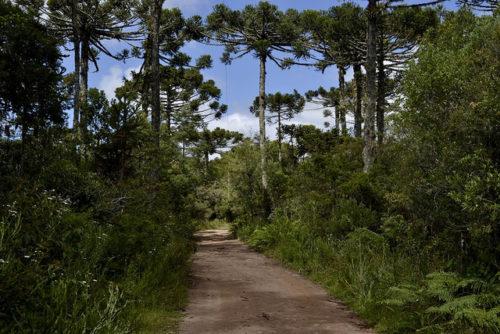Pinheiros no Parque Nacional de Aparados da Serra
