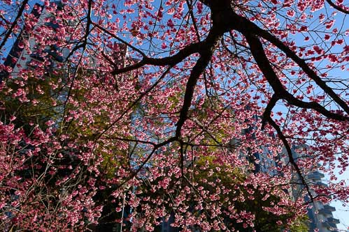 Cerejeiras de Curitiba
