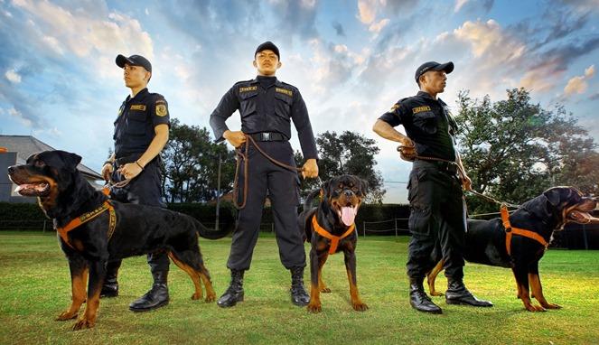Hewan Pintar Anjing Herder Bisa Dilatih Mendeteksi Corona Pada Manusia