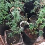 Polícia descobre plantação com 42 pés de maconha no Park Way