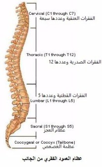 whole spine