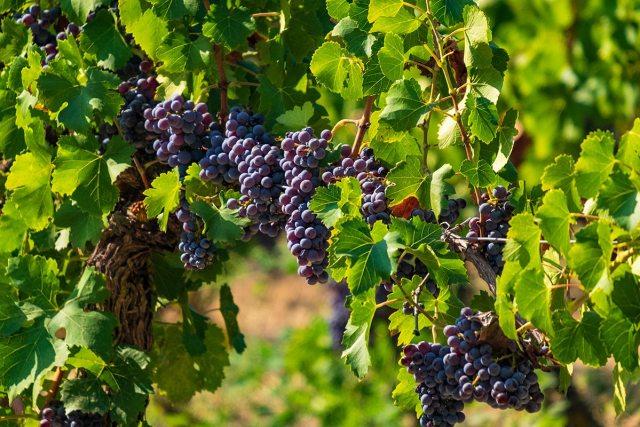Weinanbau ist auf Sardinien weit verbreitet.