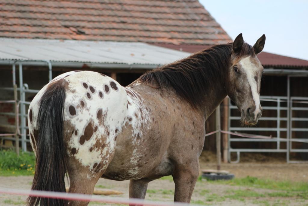 Chytání koně ve výběhu