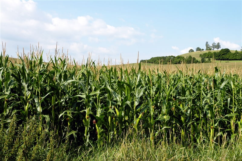 Summer of extremes hurts state's corn and soybean yields