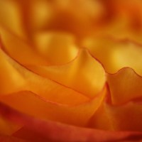 Rose Petal Abstract