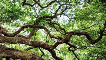 Roble, uno de los árboles empleados por los zahoríes