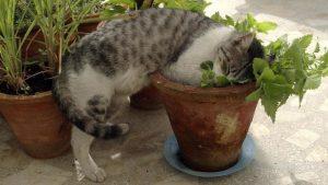 iarba pisicii1