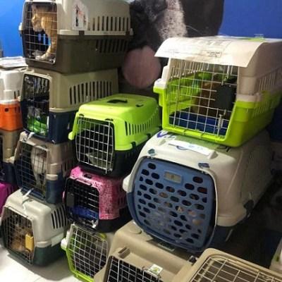 Animalistas denuncian tráfico de gatos desde la Costa hacia otras ciudades, los animales son vendidos.