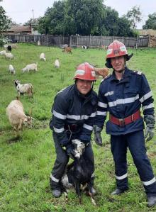Capră salvată de pompierii din Babadag