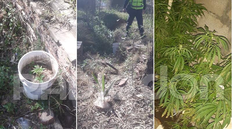 La policía de Castex secuestró plantas de marihuana y labró cuatro infracciones