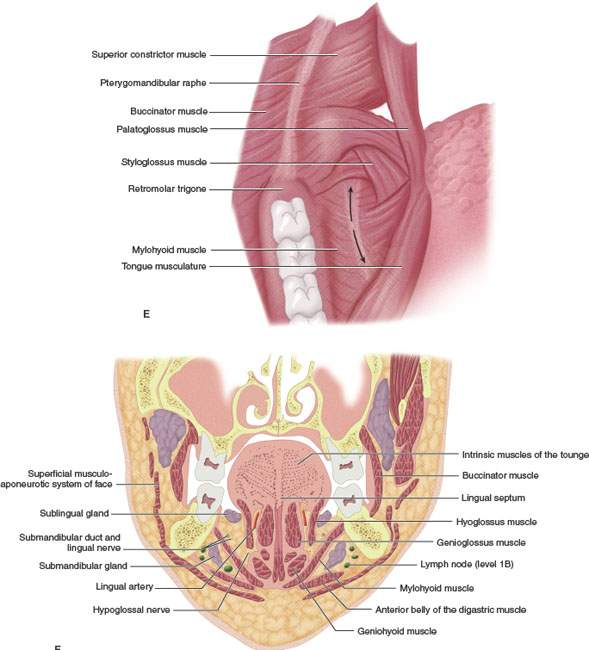 Oral Cavity And Floor Of The Mouth Introduction Radiology Key