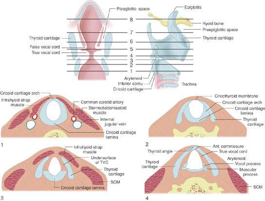 Larynx: Introduction, Normal Anatomy, and Function | Radiology Key