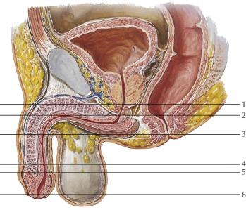 organ penis penis
