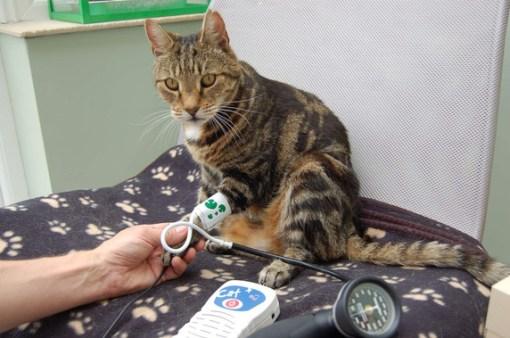 Medir la tensión arterial en los gatos puede ayudar a tratar con tiempo problemas derivados de la hipertensión / Andrew Sparkes